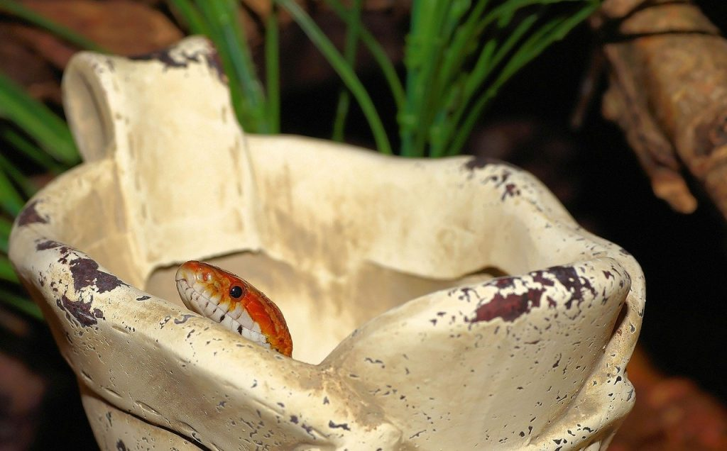The price of a corn snake ranges from $30 to $800