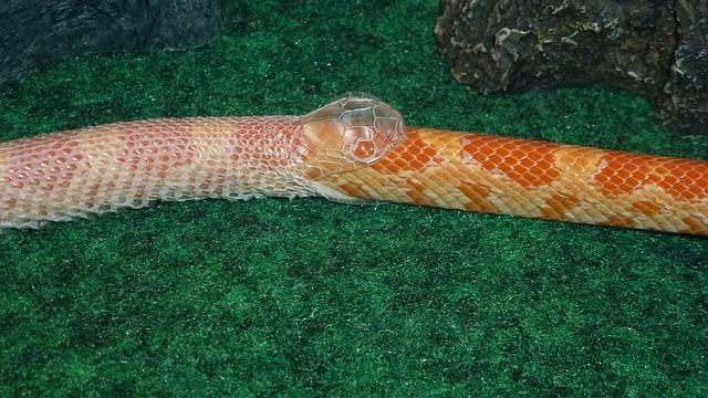 Corn snake shedding