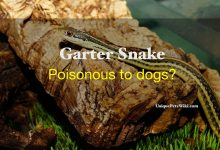 Photo of Are garter snakes poisonous to dogs?