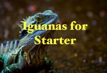 Photo of Iguanas for the starters