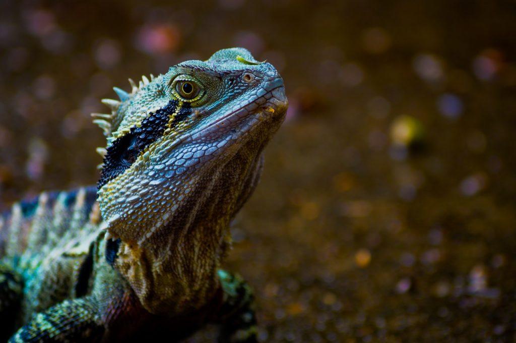 green iguana for starters