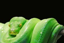 Photo of Green Tree Python For Starter: Complete Overview of Green Tree Pythons