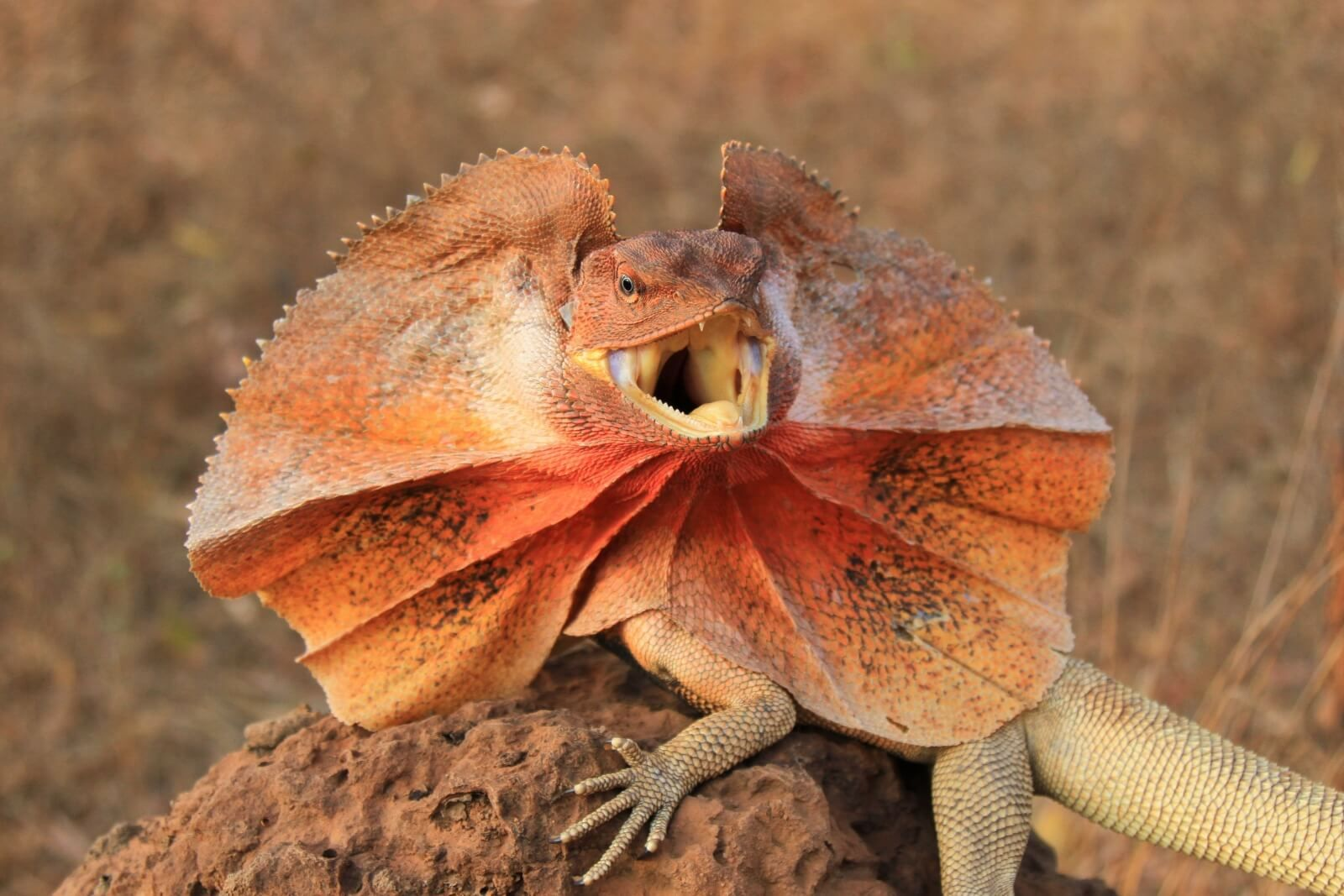 Frill-Necked Lizards (Frilled Dragons)
