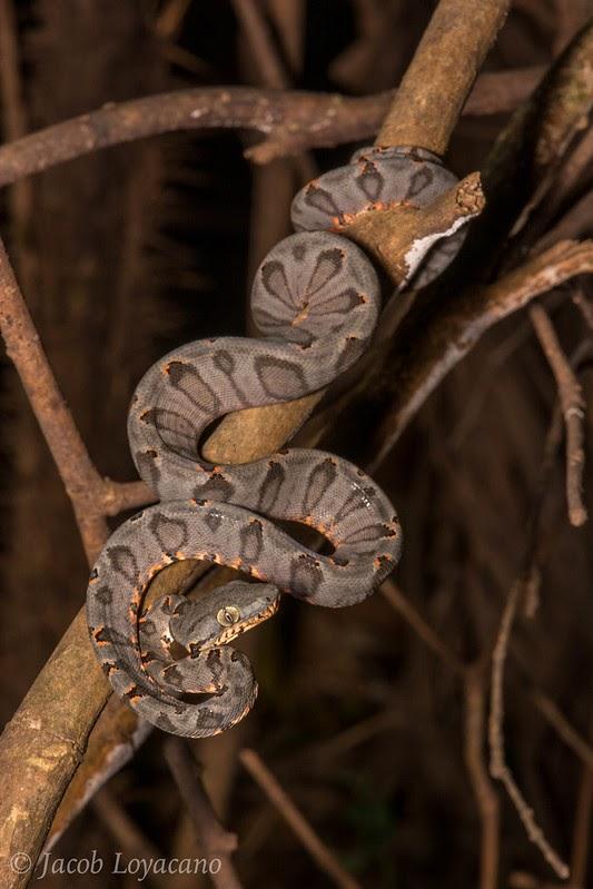 Non venomous arboreal snakes Amazon tree boa