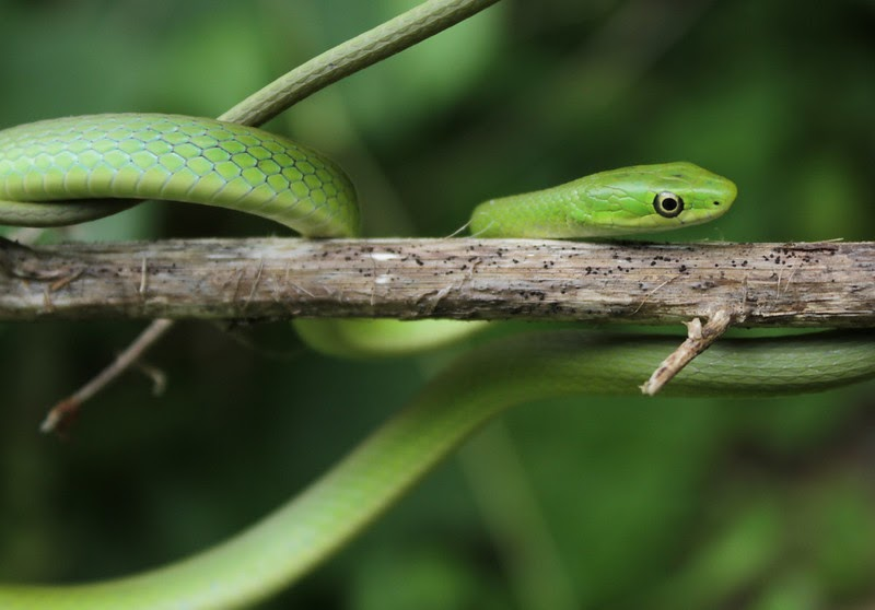 Rough green snake is one of non venomous arboreal snakes