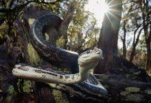 Photo of 5 Non-venomous Arboreal Snakes