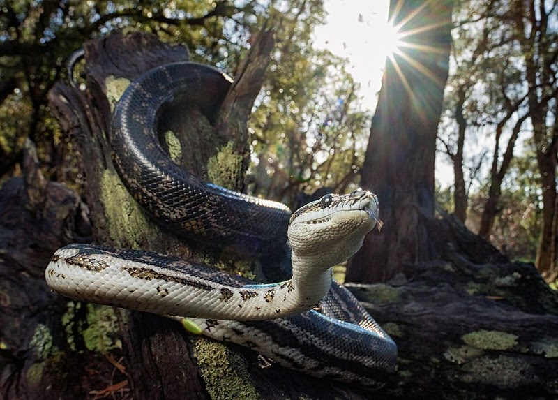 Carpet python: Non venomous arboreal snake