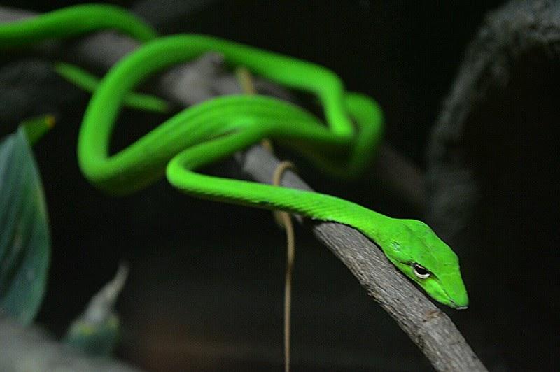 Non venomous arboreal snakeAsian vine snake