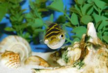 Photo of Can Figure 8 Puffer Fish Live in Freshwater?