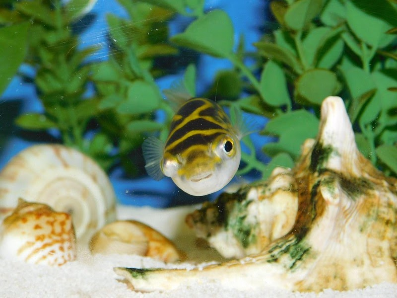 Figure 8 puffer fish