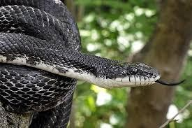 Figure 1. Black Rat Snake Is Not Poisonous