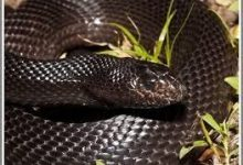 Photo of Are Black Snakes Poisonous?
