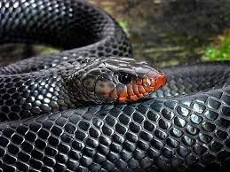 Figure 7. Eastern Indigo Snake