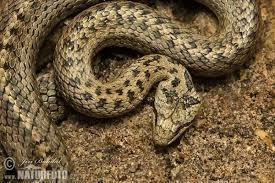 Slettsnok Snake in Norway