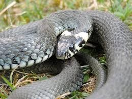 Buorm Snake in Norway