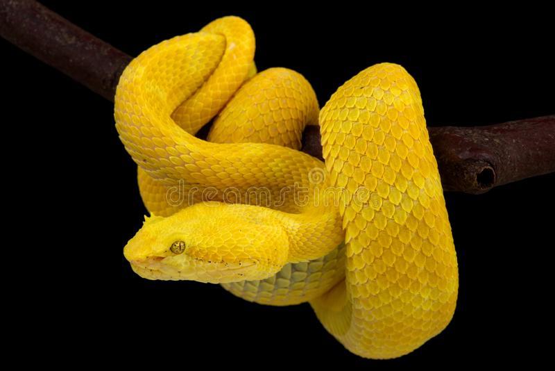 Smallest arboreal snake: Eyelash Viper
