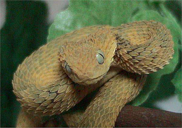 Bush viper is very small arboreal snake