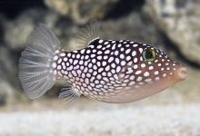 Photo of Pink spotted puffer fish