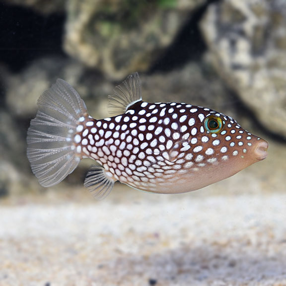 Pink Spotted Puffer Fish