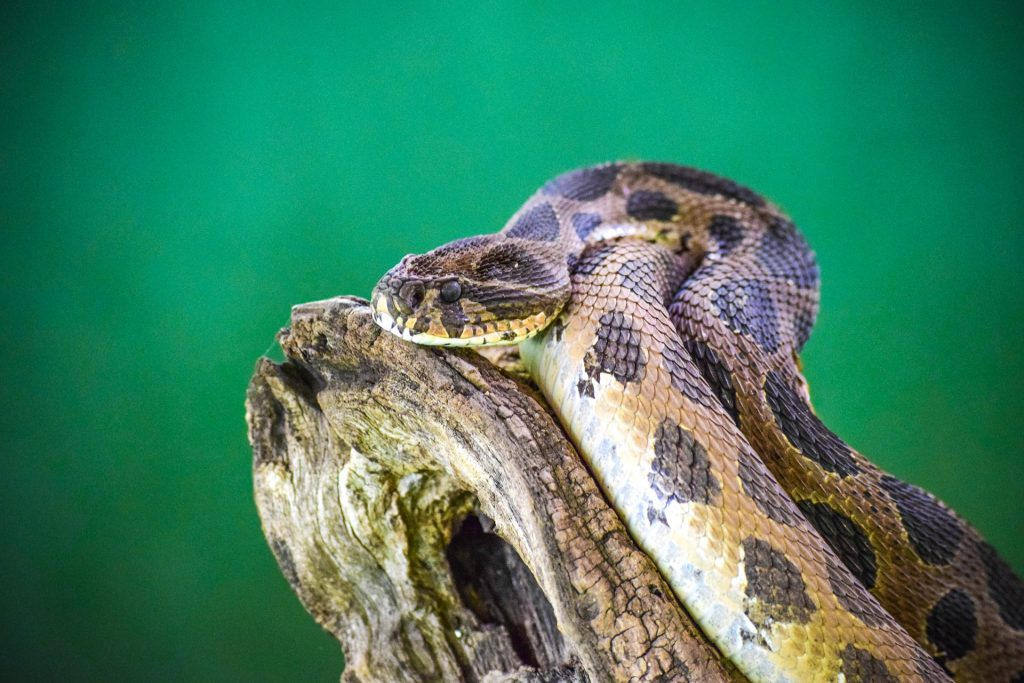 Rattle Snakes Are Good Climbers