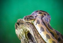Photo of Do Snakes Give Birth Through their Mouth?