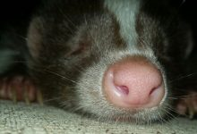 Photo of Pet skunk – Everything you need to know about skunks as pets