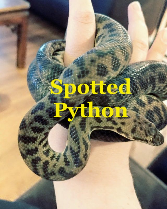 Spotted Python is good arboreal pet snake