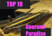 Photo of Top 19 Gourami and Paradise Fishes