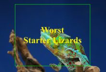 Photo of Worst lizards for beginners that actual worst