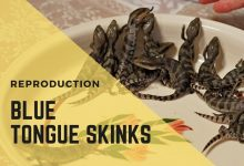Photo of Reproduction In Blue Tongue Skinks – Do they lay eggs or give live births?