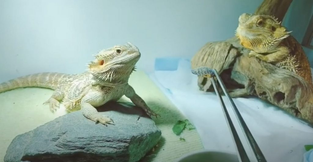 Adult Bearded Dragon Diet
