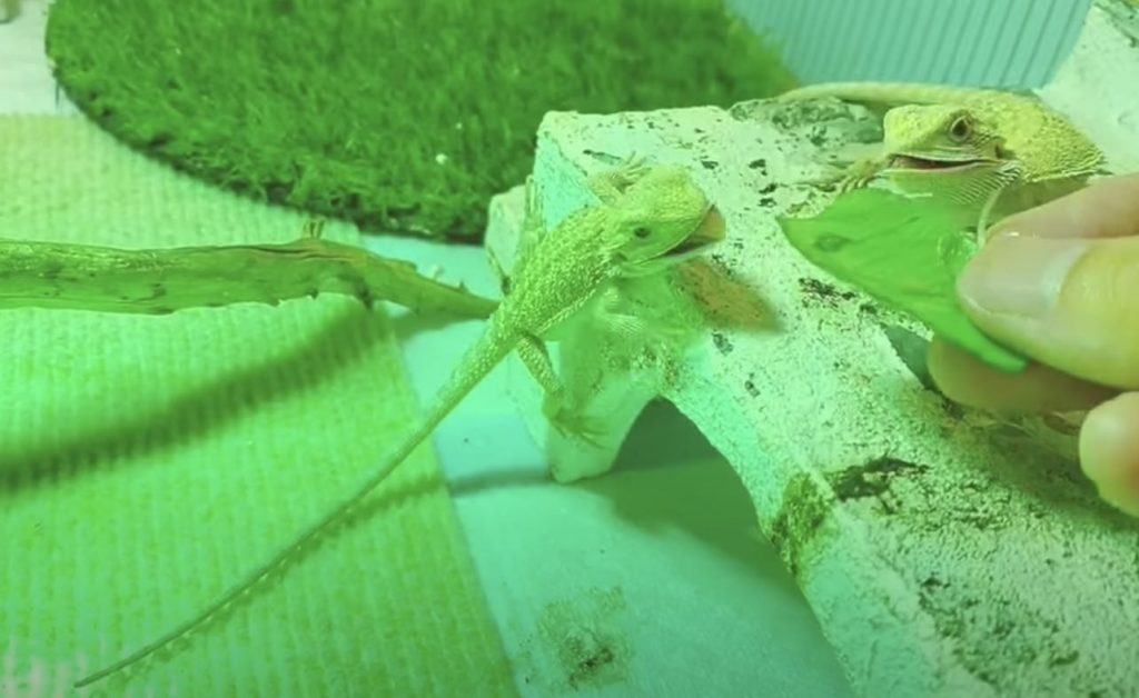 Baby Bearded Dragon Feeding Schedule