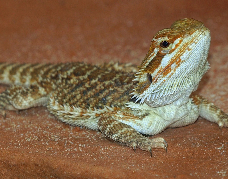 bearded dragon enjoy substrate
