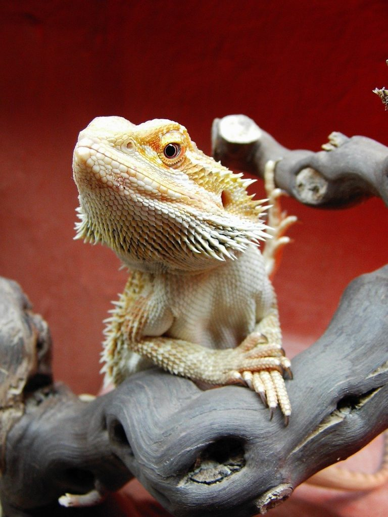 Petting Bearded Dragons