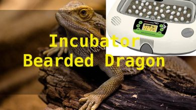 Photo of Best Incubator For Bearded Dragon Eggs