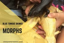 Photo of Blue Tongue Skink Morphs (The Complete List)