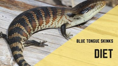 Photo of Blue Tongue Skink Diet Guide: Your Top Questions Answered (2020)