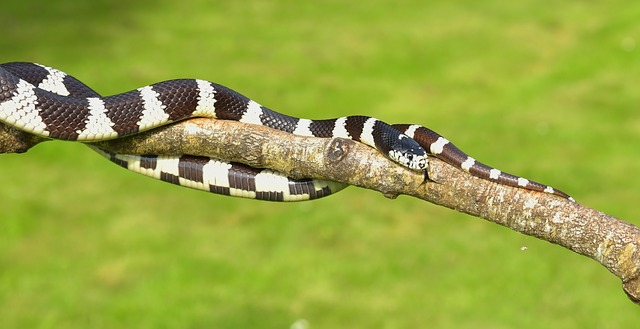 California Milk Snake