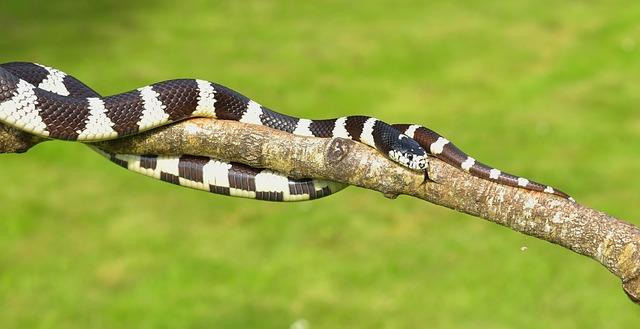 California Milk Snake