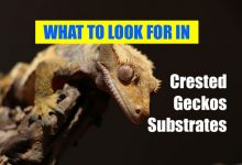 Photo of Crested Gecko Substrate Guide: What Make Best Substrate For Your Gecko?