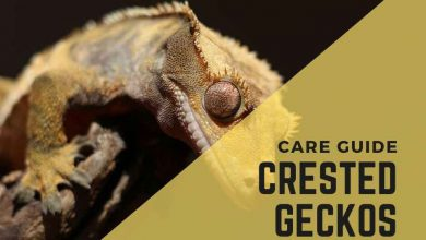 Photo of The Ultimate Crested Gecko Care Guide for Beginners