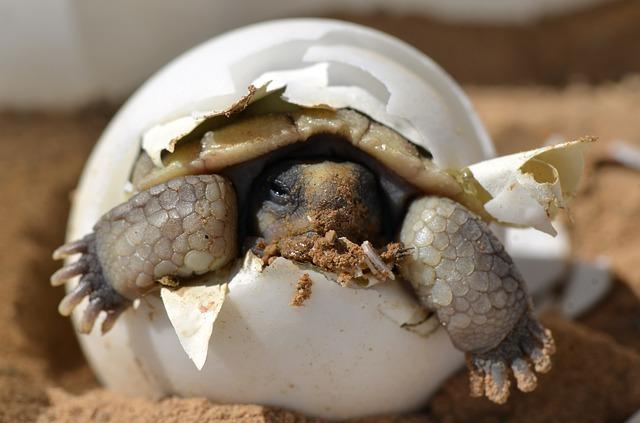 desert tortoise hatching