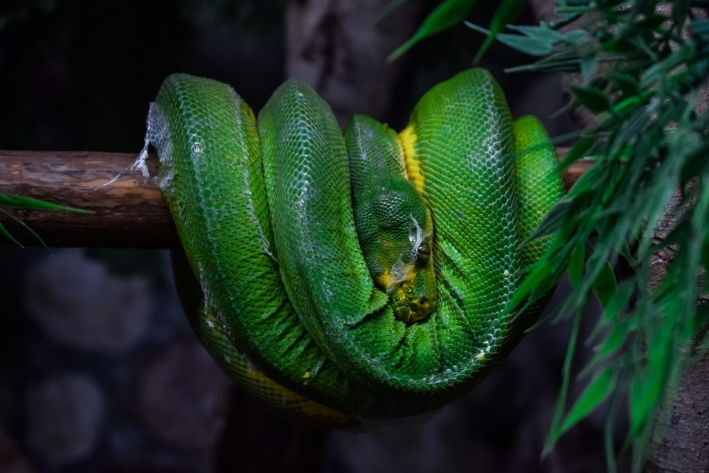 Sorong Green Tree Pythons