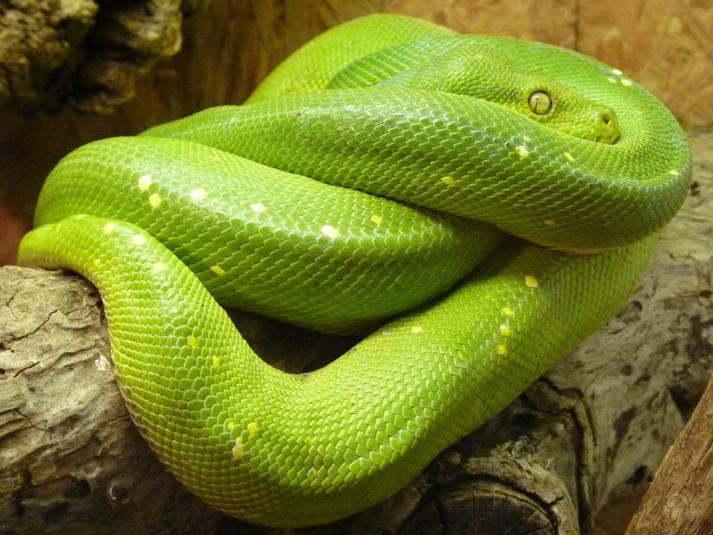 Wamena Green Tree Pythons