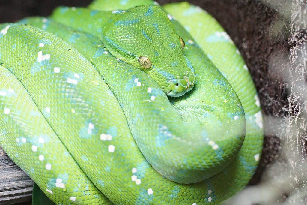 Jayapura Green Tree Pythons