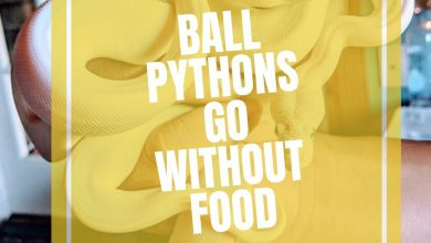 Photo of How Long Can A Ball Python Go Without Eating?