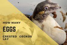 Photo of How Many Eggs Do Crested Geckos Lay?