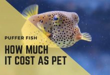 Photo of How Much Does a Puffer Fish Cost as Pet? AVG of 15 species|Include Accessories