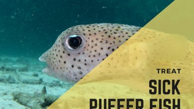 Photo of How To Treat A Sick Pet Puffer Fish? (Complete List)