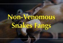 Photo of Do Non-venomous Snakes Have Fangs?